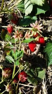 seasonal fest - strawberries