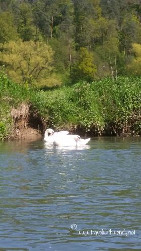 TWW - Swans along the Neckar