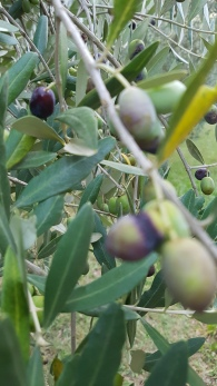 travel-with-wendy-cooking-in-italy-olive-groves-umbria