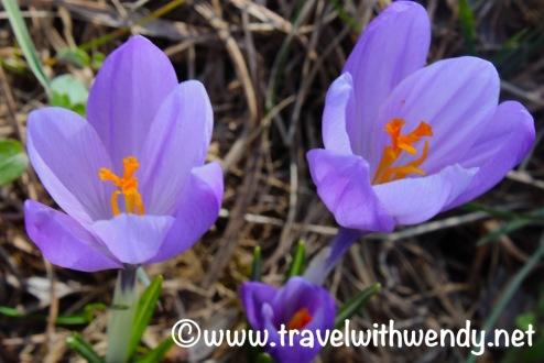 crocuses-in-spring