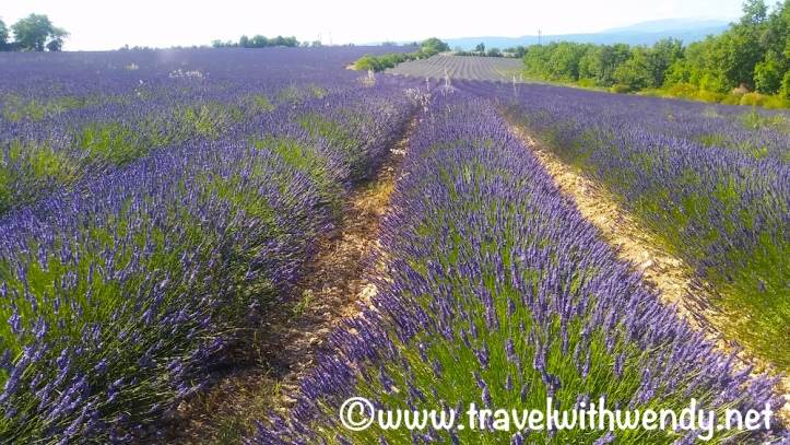 Lavender fields - Provence, France.jpg